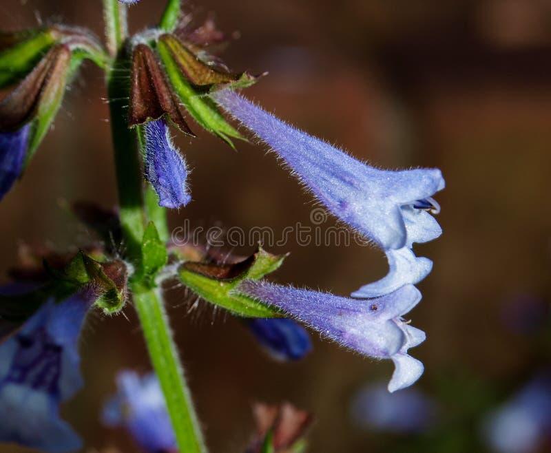 Lira-foglia Sage Salvia Lyrate fotografia stock libera da diritti