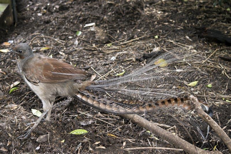 Lira ptak zdjęcie royalty free