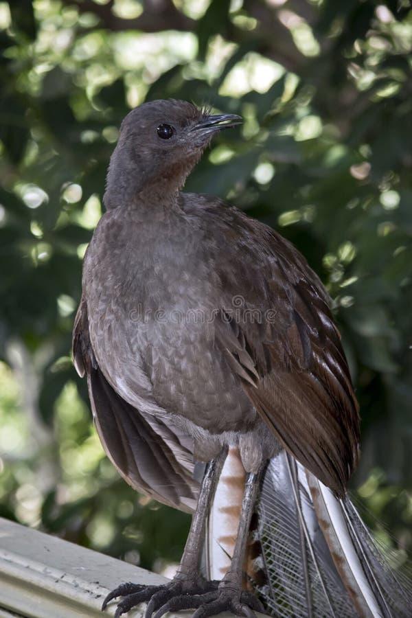 Lira ptak zdjęcie stock