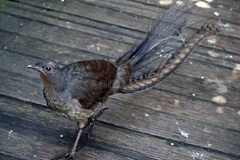 Lira ptak obraz stock