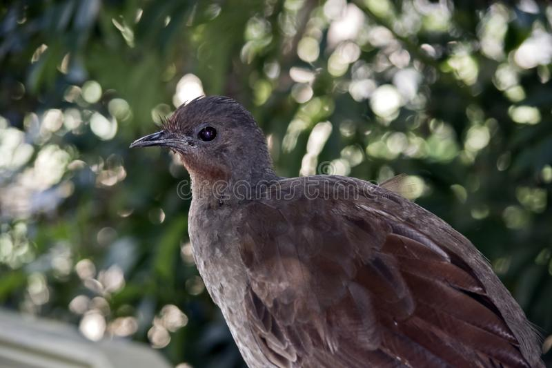 Lira ptak fotografia stock