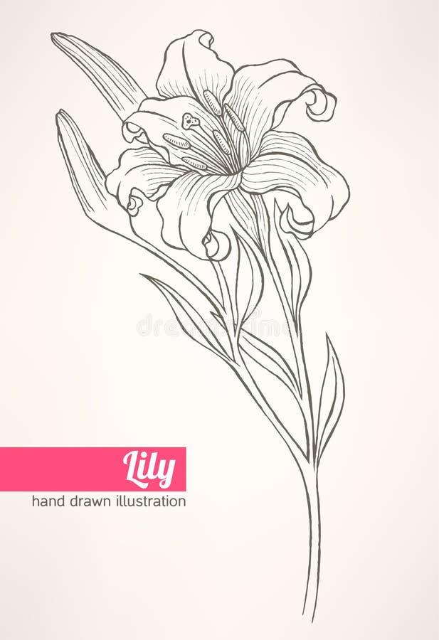 Lirio libre illustration