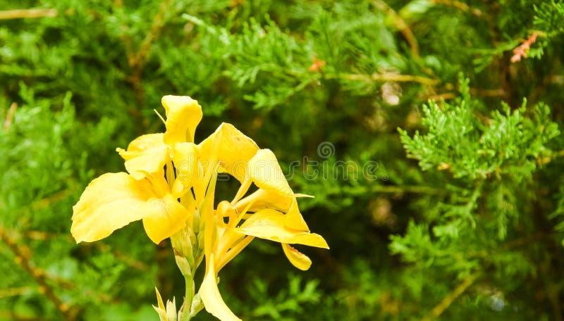 Lirio amarillo de la flor en bosque imágenes de archivo libres de regalías