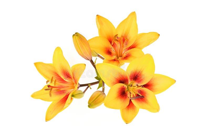 Lirio amarillo de la inflorescencia (nombre latino: Lilium) fotografía de archivo libre de regalías