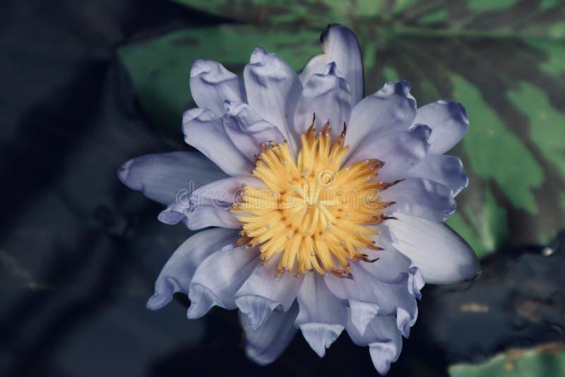 Lirio amarillo púrpura hermoso en el agua imagen de archivo libre de regalías