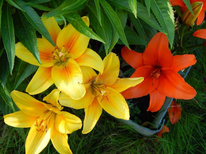 Lirio amarillo y rojo en mi jardín fotos de archivo