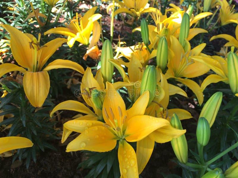Download Lirio asiático imagen de archivo. Imagen de jardín, lirio - 64205075