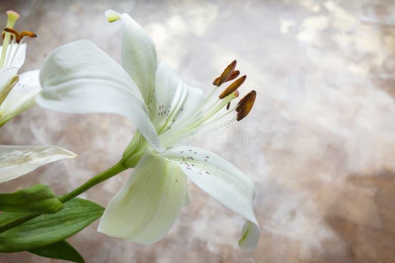 Lirio blanco estelar imagen de archivo libre de regalías