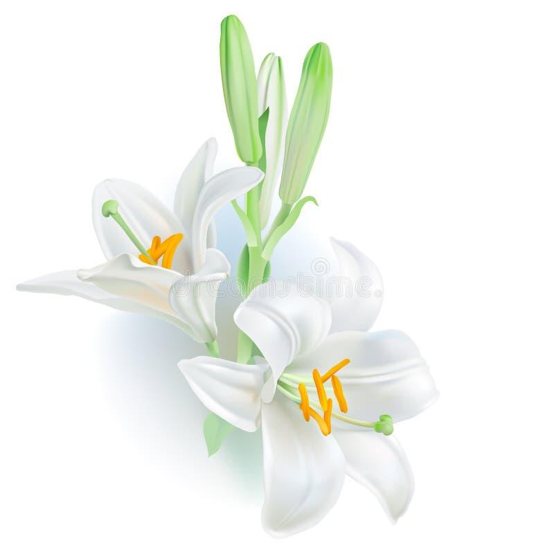 Lirio blanco - Lilium candidum stock de ilustración