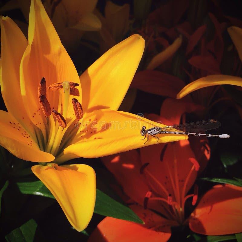 Lirio con una libélula imagen de archivo libre de regalías