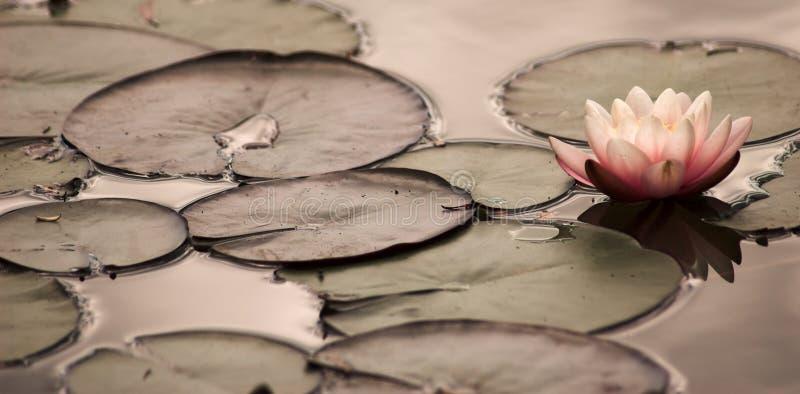 Lirio de agua imágenes de archivo libres de regalías
