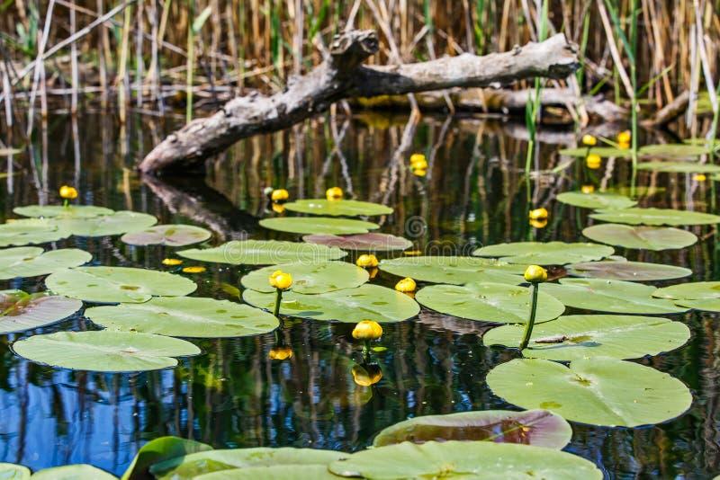 Lirio de agua amarilla fotos de archivo libres de regalías