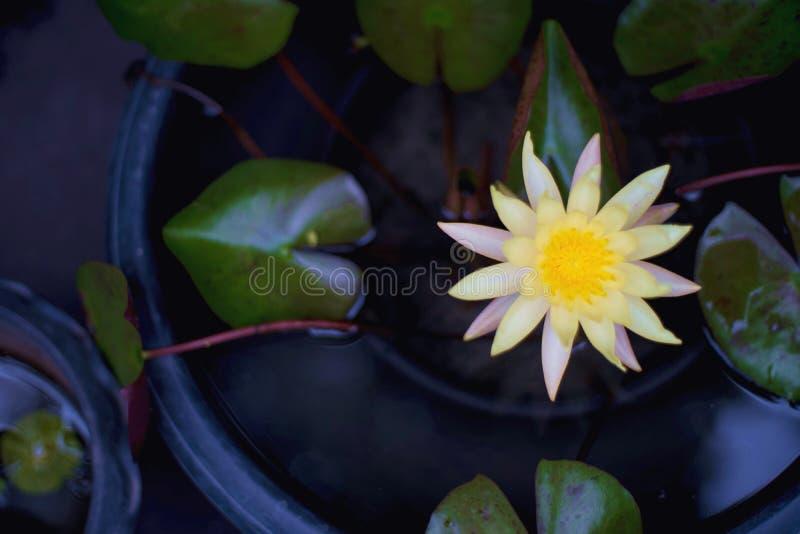 Lirio de agua amarilla Lotus en cierre del fondo de la visión superior para arriba imagen de archivo libre de regalías