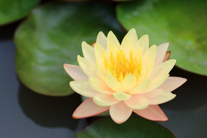 Lirio de agua amarilla o flor de loto hermoso imágenes de archivo libres de regalías