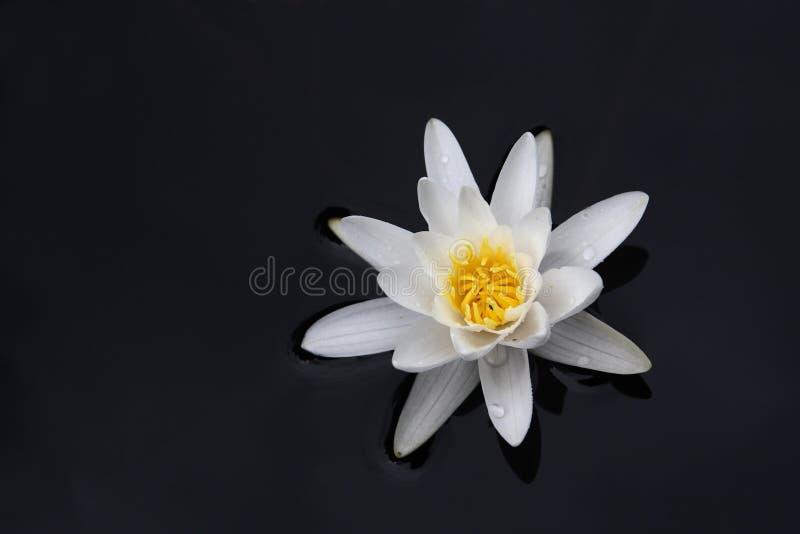 Lirio De Agua Blanca Imágenes de archivo libres de regalías