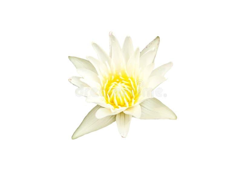 Lirio de agua blanca aislado en el fondo blanco fotografía de archivo libre de regalías