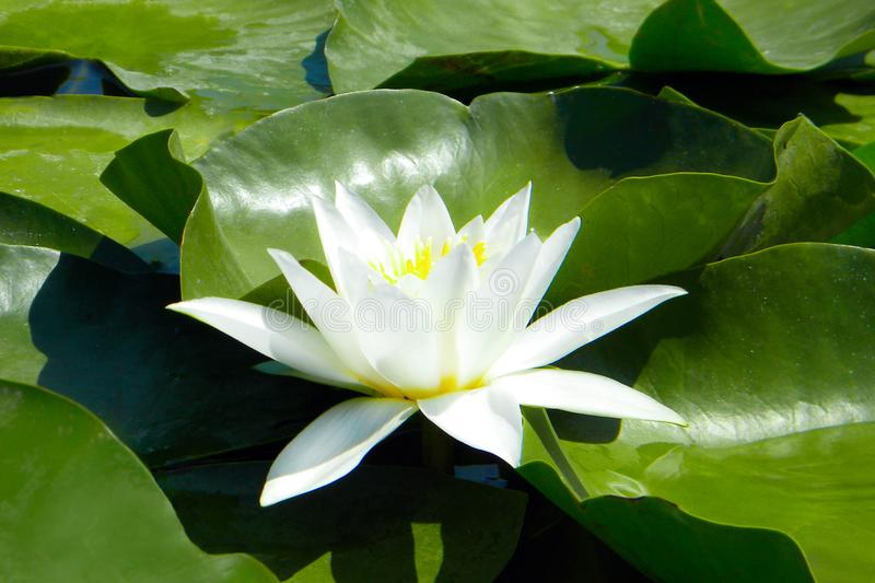Lirio de agua blanca entre las hojas verdes que crecen fuera del agua fotos de archivo libres de regalías