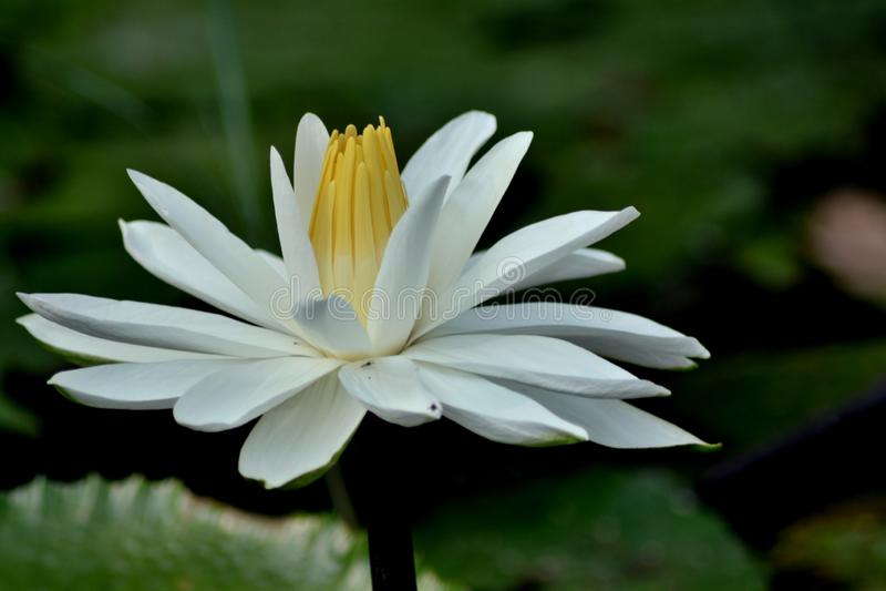 Lirio de agua blanca/Lotus - cierre para arriba foto de archivo libre de regalías