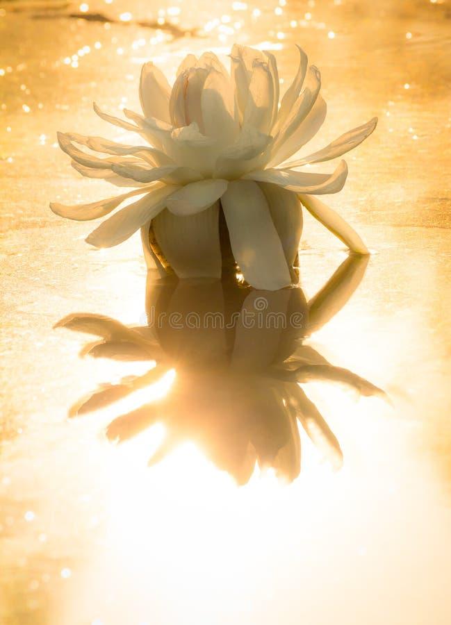 Lirio de agua con luz del sol de oro por la mañana fotos de archivo