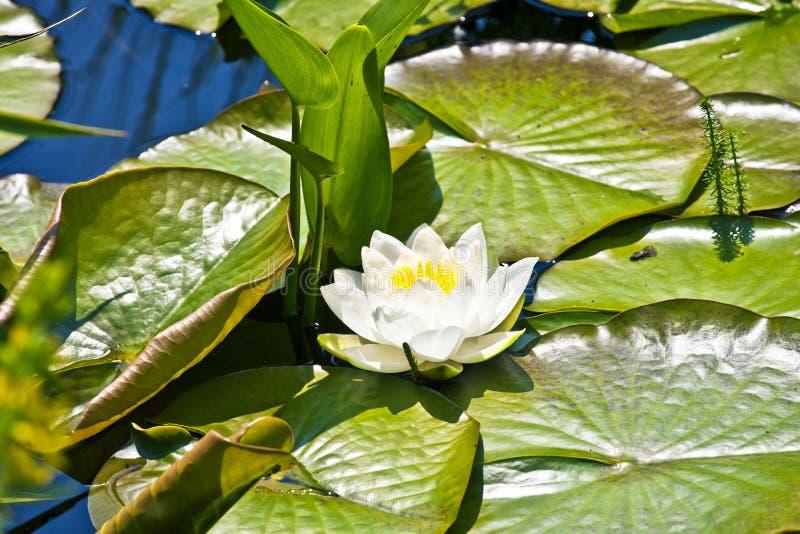 Lirio de agua del loto blanco fotografía de archivo