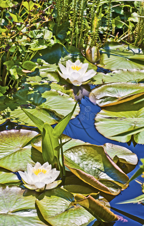 Lirio de agua del loto blanco en el lago imagen de archivo libre de regalías