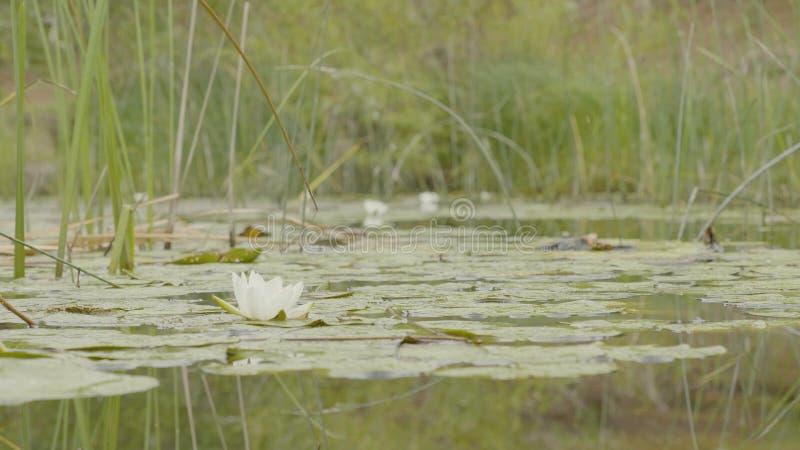 Lirio de agua en pantano Lotus en naturaleza en fondo natural Lotus blanco en el cierre del pantano para arriba fotografía de archivo libre de regalías