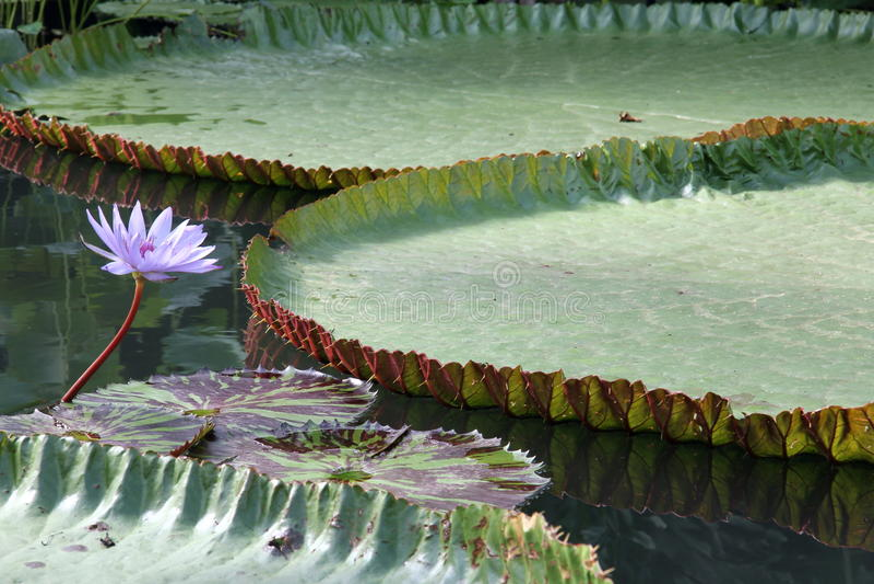 Lirio de agua gigante imagen de archivo