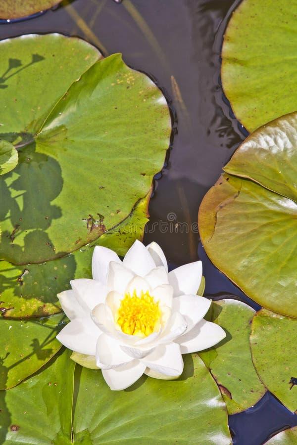 Lirio de agua japonés del loto blanco imagenes de archivo