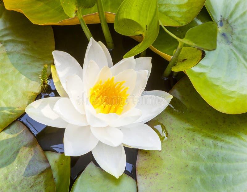 Lirio de agua japonés del loto blanco fotos de archivo libres de regalías