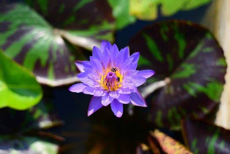 Lirio de agua de Lotus azul con tres abejas imagen de archivo