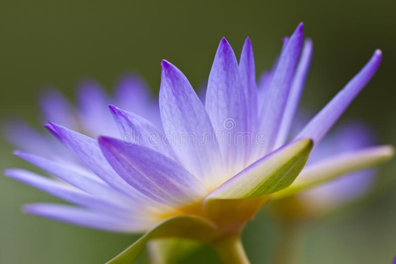Lirio de agua púrpura fotografía de archivo libre de regalías