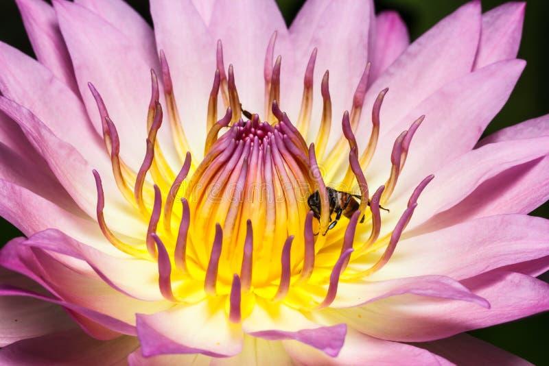 Download Lirio de agua púrpura foto de archivo. Imagen de floración - 42428458