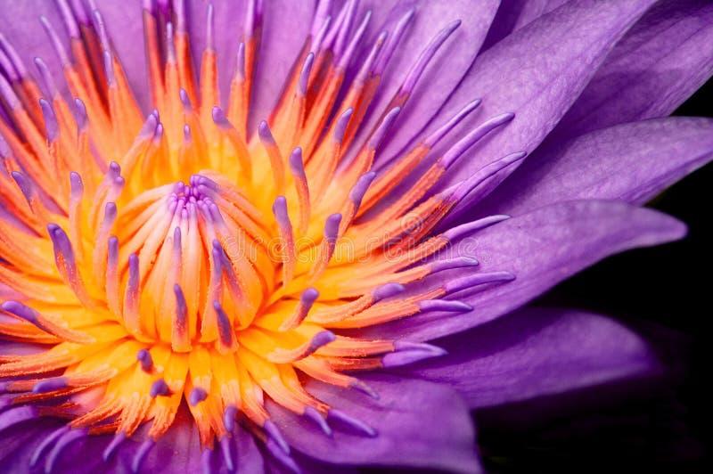 Lirio de agua púrpura, pistilo macro púrpura y estambre de la demostración del tiro de Lotus aislados en negro fotos de archivo