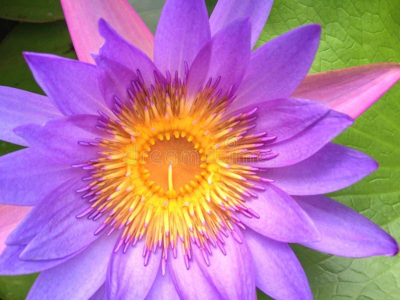 Lirio de agua púrpura - primer imágenes de archivo libres de regalías