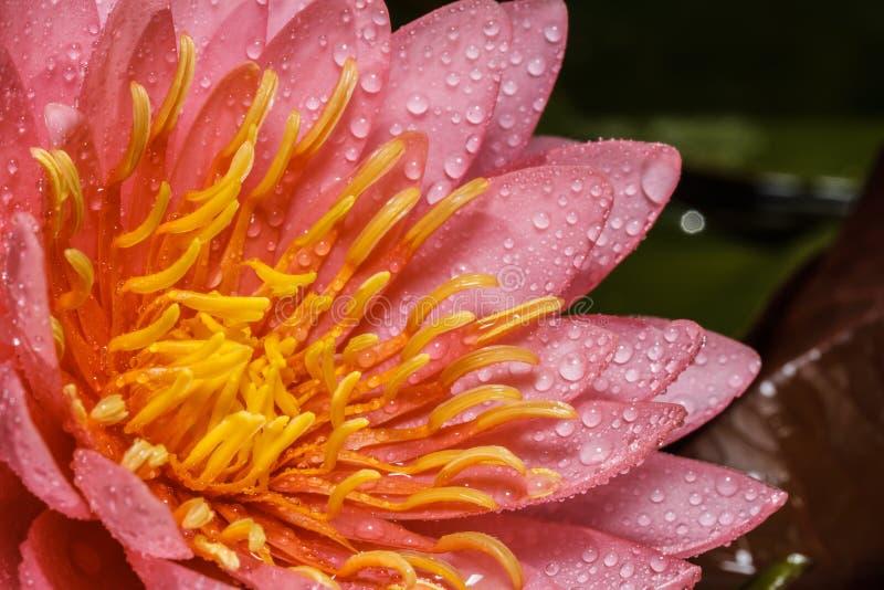 Download Lirio de agua rosado imagen de archivo. Imagen de exótico - 42427557