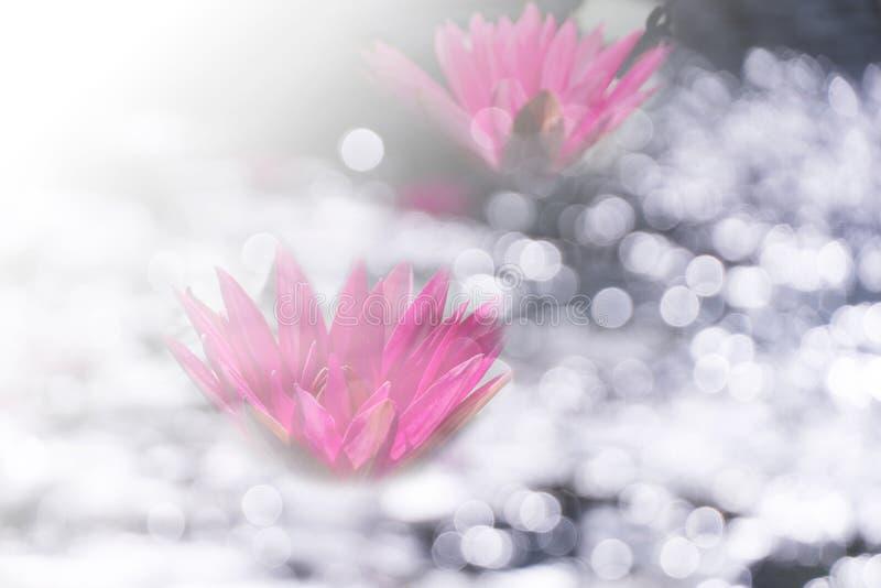 Lirio de agua rosado dos con la luz blanca del bokeh de la falta de definición en el agua en fondo del jardín de la naturaleza de fotografía de archivo