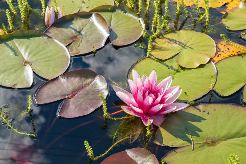 Lirio de agua rosado hermoso fotos de archivo