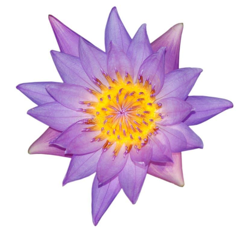 Lirio de agua violeta fotografía de archivo
