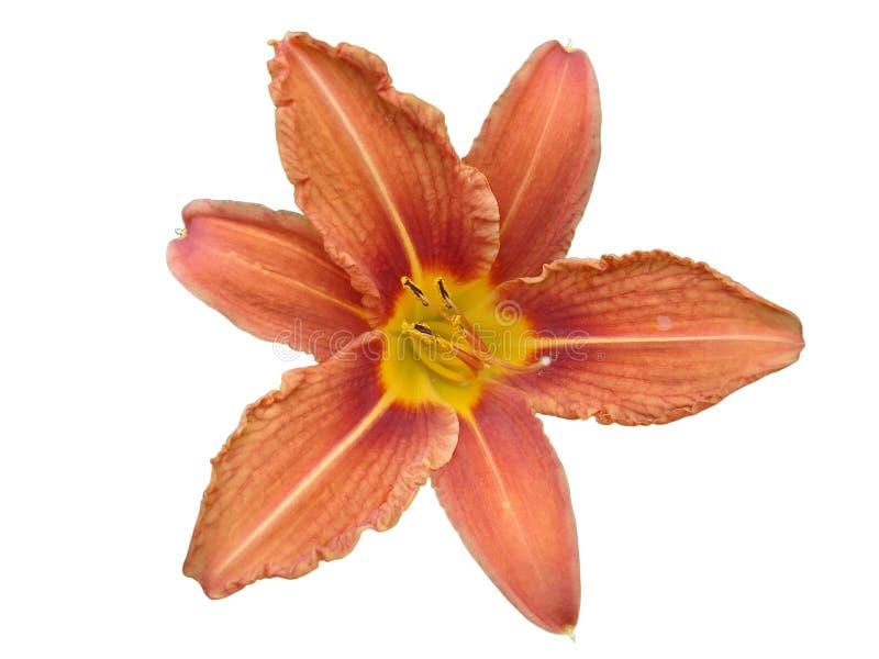 Lirio de día anaranjado de la flor del lilium aislado en blanco imágenes de archivo libres de regalías