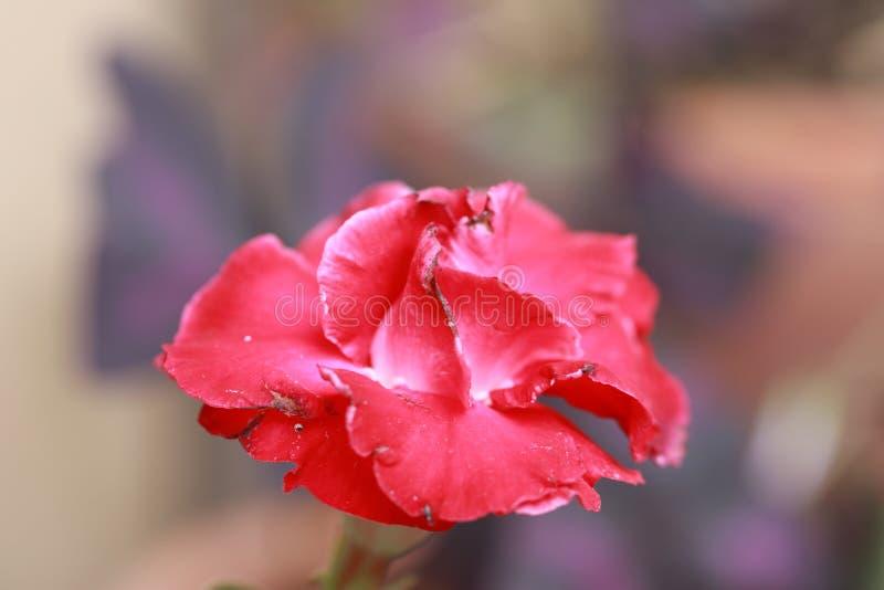 Lirio de impala rojo es un género de plantas florecientes en la familia del Apocynum fotos de archivo libres de regalías