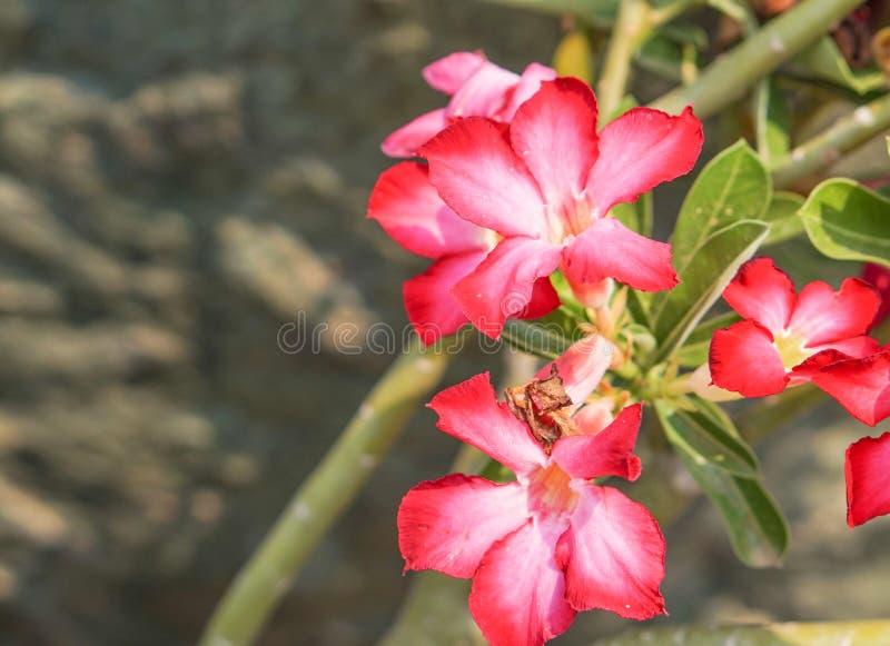 Lirio de impala rosado imagenes de archivo