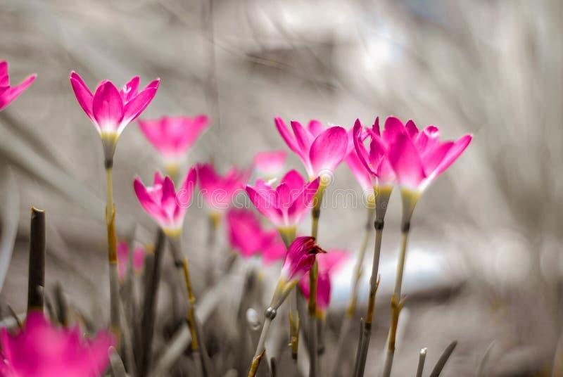 Lirio de la lluvia o flor del lirio de Zephyranthes fotos de archivo libres de regalías