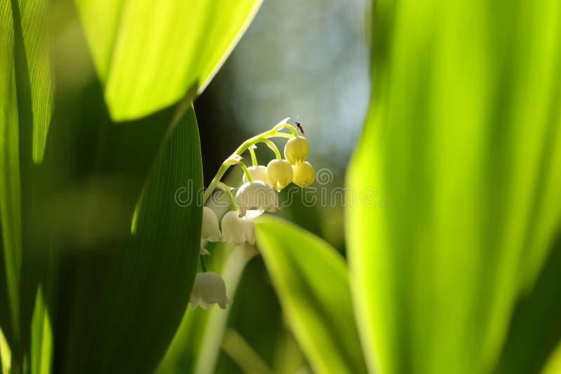 Lirio de los valles en el bosque en una ma?ana sunnny de la primavera foto de archivo