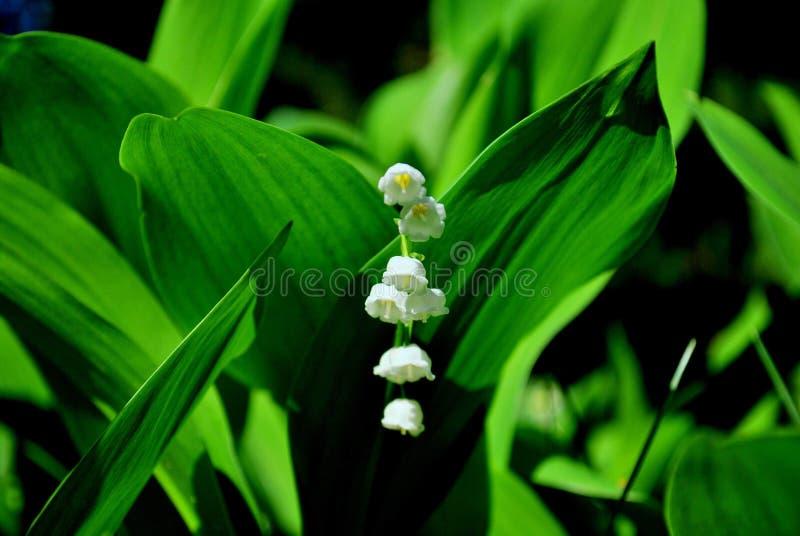 Lirio de los valles floreciente en un fondo borroso de hojas verdes imagen de archivo
