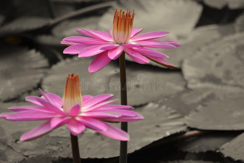 Lirio del rosa/de agua roja/Lotus - escena tranquila fotografía de archivo