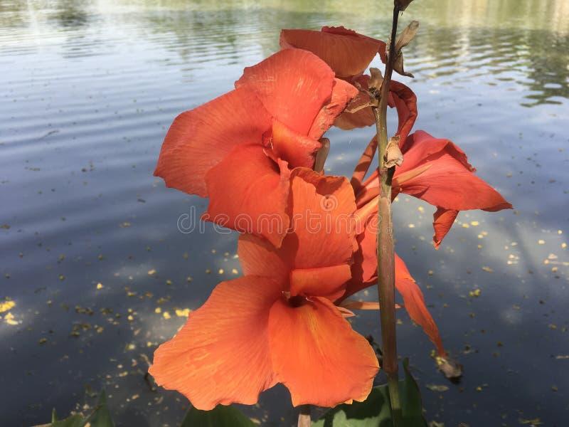 Lirio del tiro indio anaranjado rojizo o de Canna y x28; Canna L indica y x29; flores por el lago imagenes de archivo