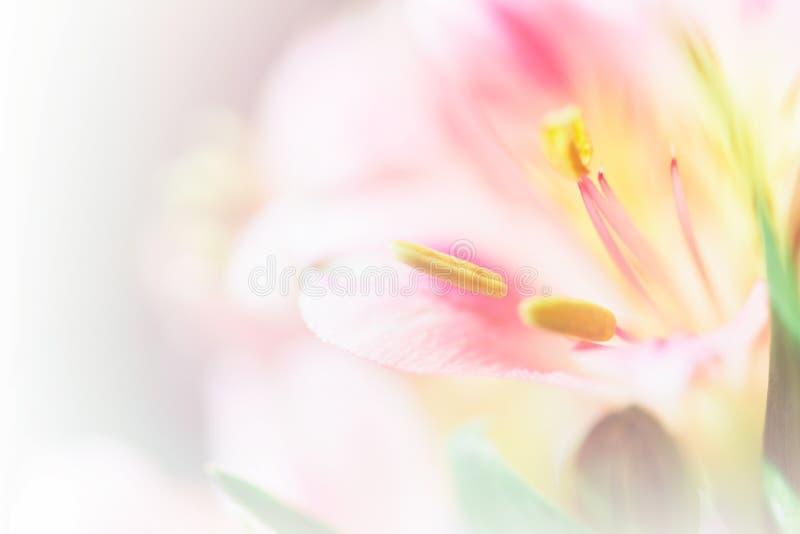 Lirio dulce del pétalo del color en colores pastel en el estilo suave del color y de la falta de definición para b foto de archivo libre de regalías