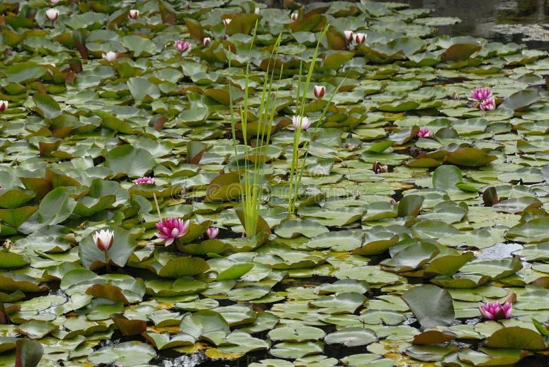Lirio en el jardín de Japón, Hortulus fotografía de archivo