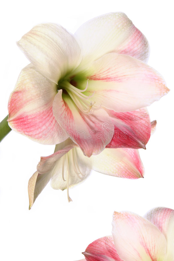 Lirio exótico de la flor fotografía de archivo