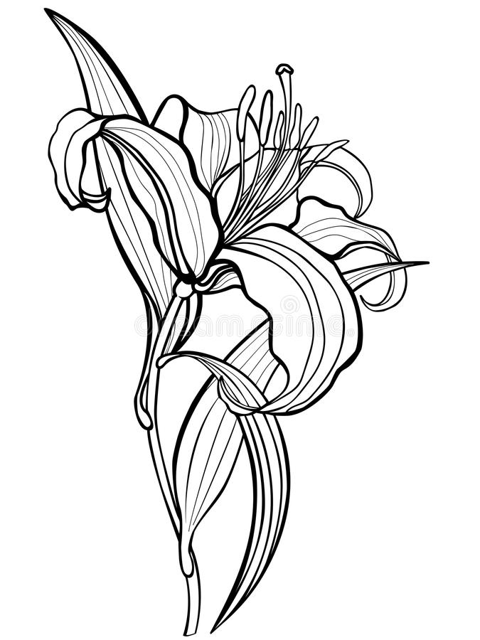 Lirio, flor Una flor grande del lirio con las hojas y los estambres Dibujo lineal Para colorear, el libro de colorear para los ni ilustración del vector